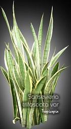 Tropicopia en ligne plante d 39 int rieur conseils soins sur l 39 entretien de sansevieria - Plante langue de belle mere ...