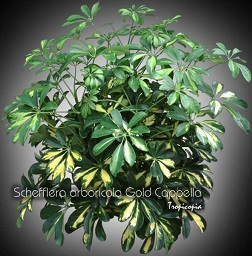 Tropicopia en ligne galerie d 39 images de plantes d for Plantes tropicales d interieur