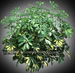 Schefflera arboricola Gold Cappela