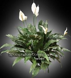 tropicopia en ligne plante d 39 int rieur conseils soins sur l 39 entretien de spathiphyllum. Black Bedroom Furniture Sets. Home Design Ideas